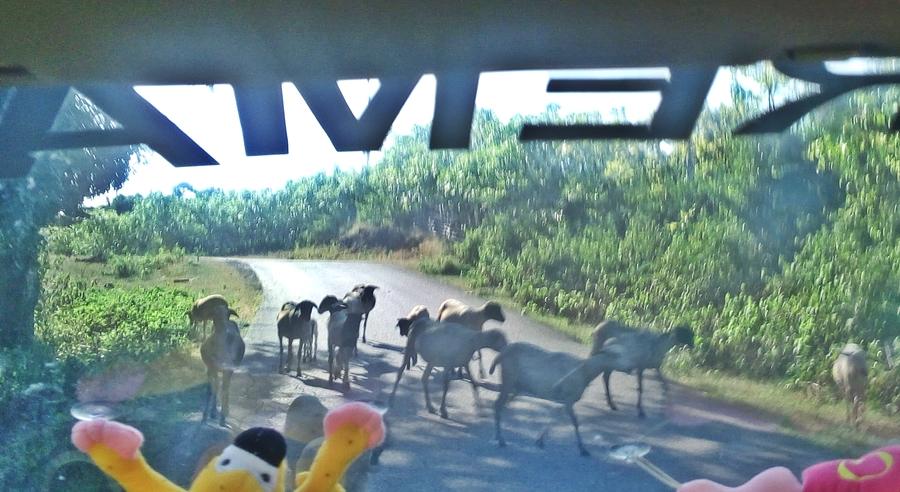 Ternak di jalanan Pulau Rote